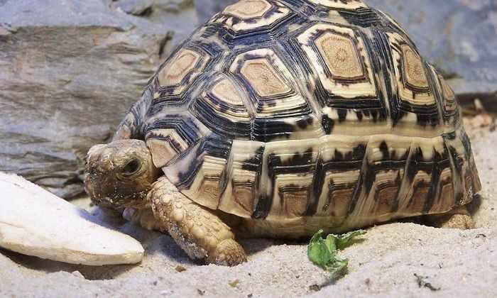 Черепахе сделали новый панцирь на 3D-принтере