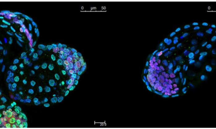 Ученые остановили эмбриональное развитие мышей