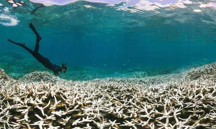 Обесцвечивание Большого Барьерного рифа достигло рекордных размеров