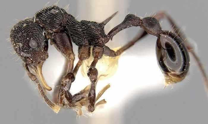 Ученые обнаружили новый вид муравьев в лягушке