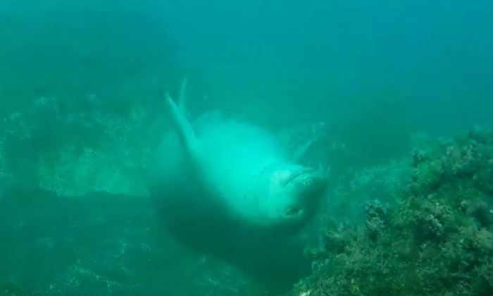Тюленя-монаха впервые засняли спящим под водой