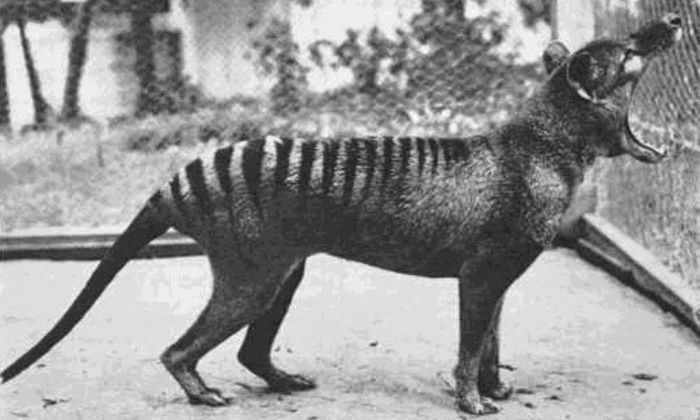В Австралии камера сняла считавшееся вымершим животное
