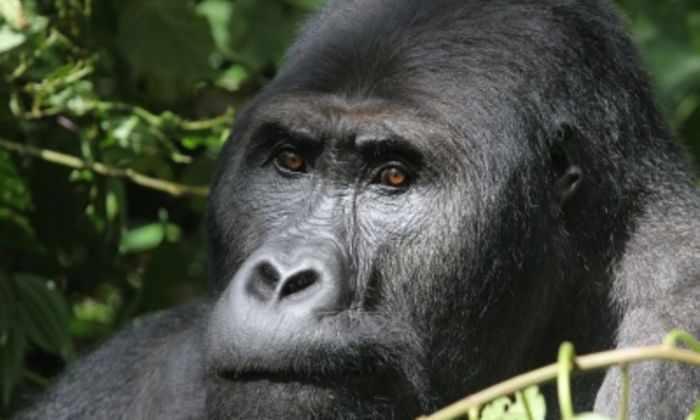 Самые крупные гориллы на планете почти уничтожены