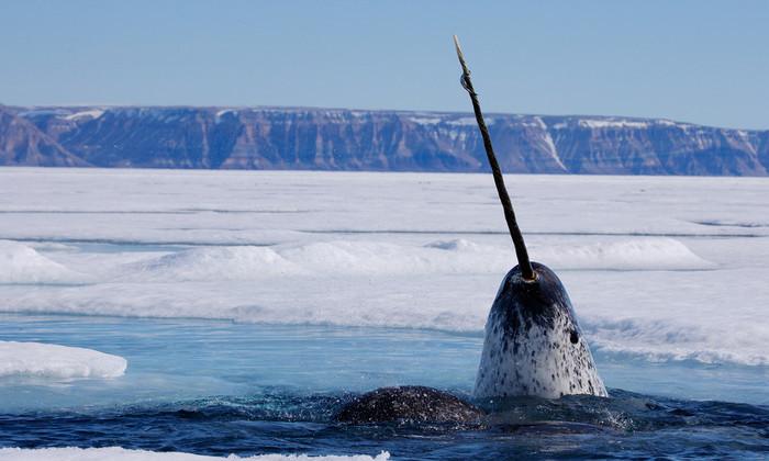 Ученым удалось снять охоту малоизученного «морского единорога»