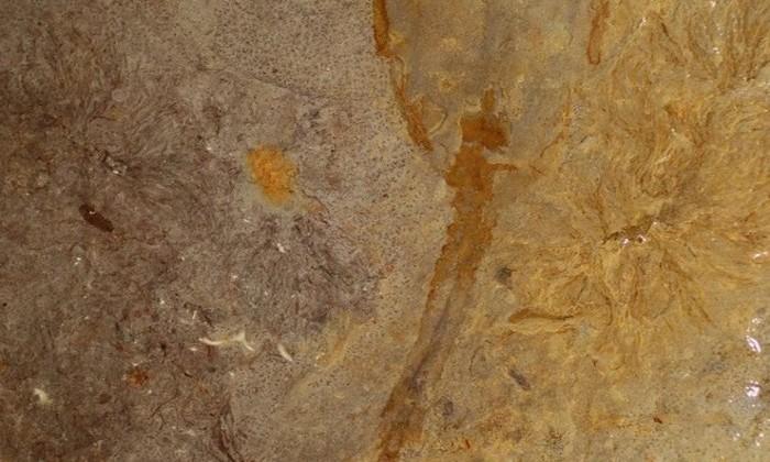 Siphusauctum lloydguntheri