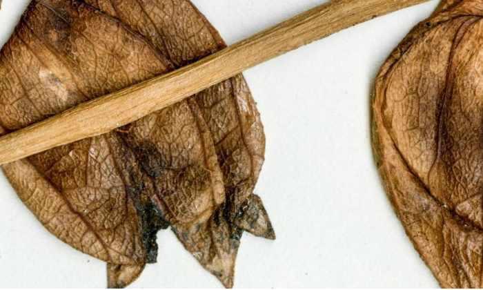 52 миллиона лет. Таков возраст предка картофеля и томатов, обнаруженного в Аргентине