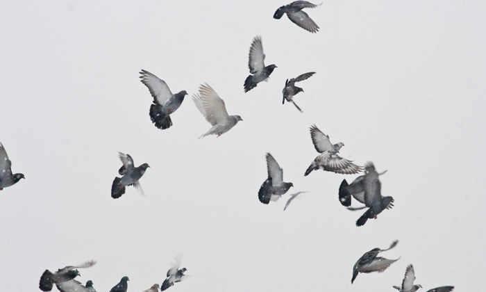 Следы паразитов млекопитающих нашли в ДНК птиц