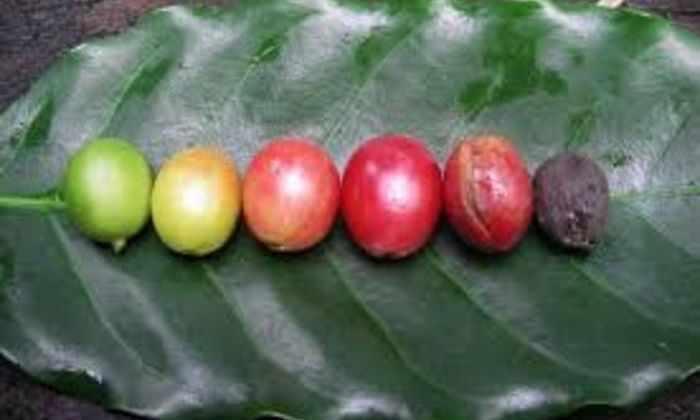 Ученые раскрыли секрет кофейных бобов