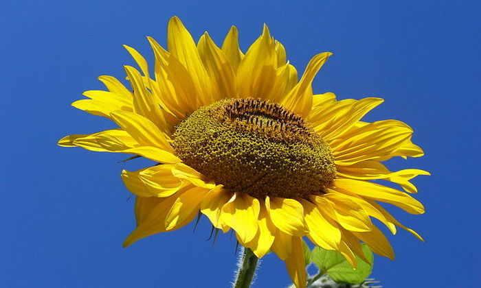 Ученые выяснили, почему подсолнухи повторяют движение солнца
