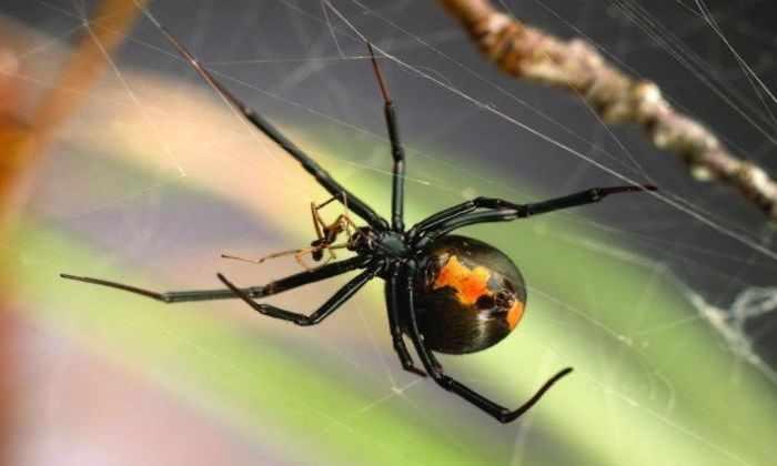 У самцов пауков появился трюк, позволяющий избежать сексуального каннибализма