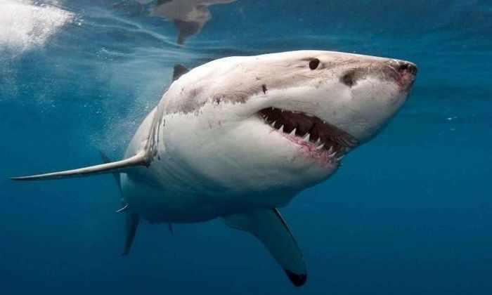 Видео: акула не совершает нападение из-за защитного браслета