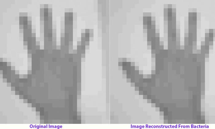 Фото и GIF закодировали в ДНК бактерий