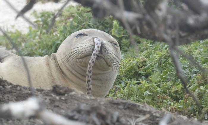 Тюлень-монах с угрем в носу