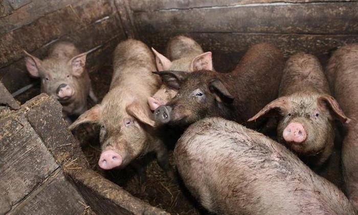 Женщина потеряла сознание в вольере с домашними свиньями. И они съели ее заживо