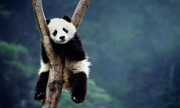 В Гонконге усыпили старейшую из живущих в неволе панд